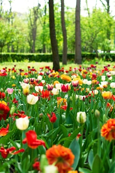 Tulipes au printemps agrandi