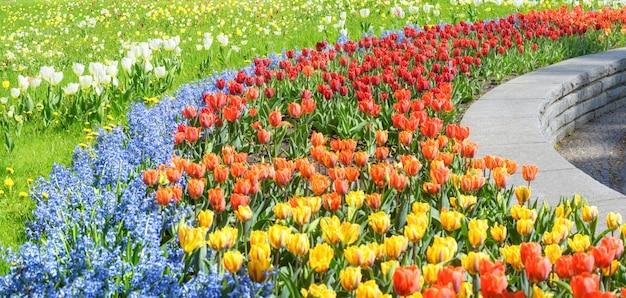 Tulipes au printemps, parterre de fleurs colorées
