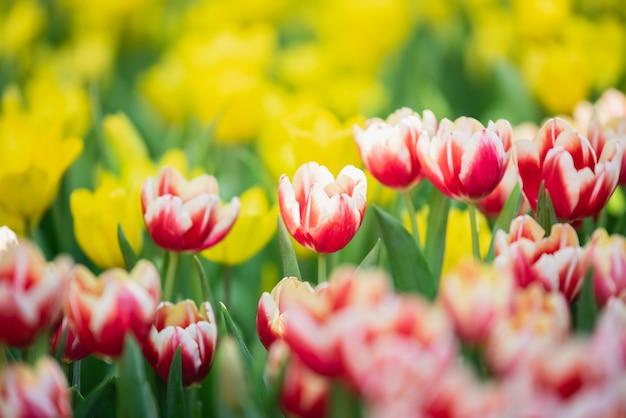 Tulipes au soleil de printemps dans le jardin