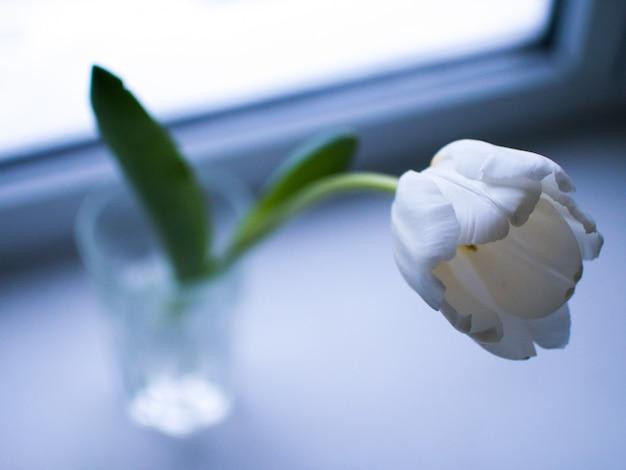 Tulipes blanches dans des verres à la fenêtre.