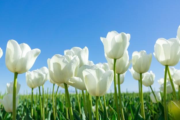 Tulipes blanches sur fond de ciel bleu. composition de printemps frais