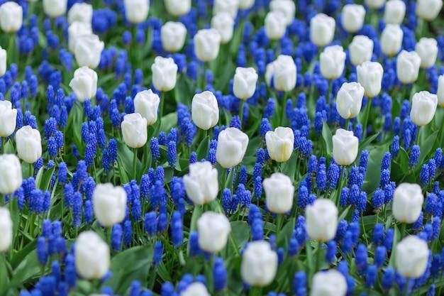Tulipes blanches et jacinthes des raisins bleus (muscari armeniacum) dans un parc.
