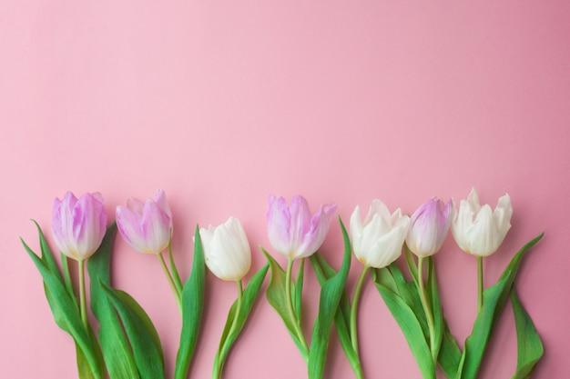 Tulipes blanches et roses sur fond rose. journée de la femme, printemps.