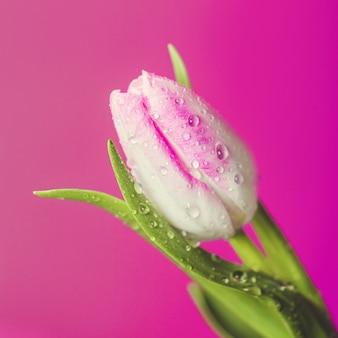 Tulipes brillantes fragiles avec des gouttes d'eau