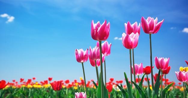 Tulipes sur le ciel
