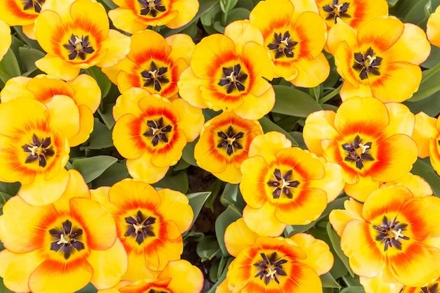 Tulipes colorées fleurs fraîches à un arrière-plan flou flou bouchent bokeh