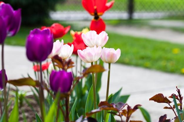 Tulipes colorées sur le gros plan du parterre de fleurs