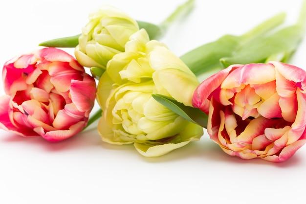 Tulipes de couleur rose sur fond blanc. carte de voeux de printemps. style vintage rétro.