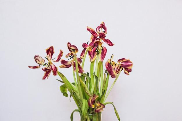 Les tulipes coupées dans un vase. tulipes sur fond noir. flétrissement de la fleur.
