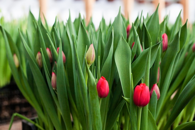 Tulipes cultivées en serre, fleurs naturelles, plantes variétales