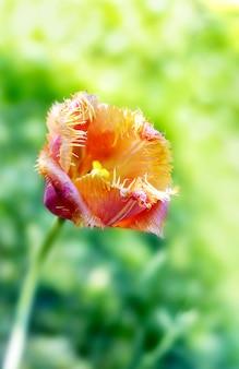 Tulipes dans le jardin