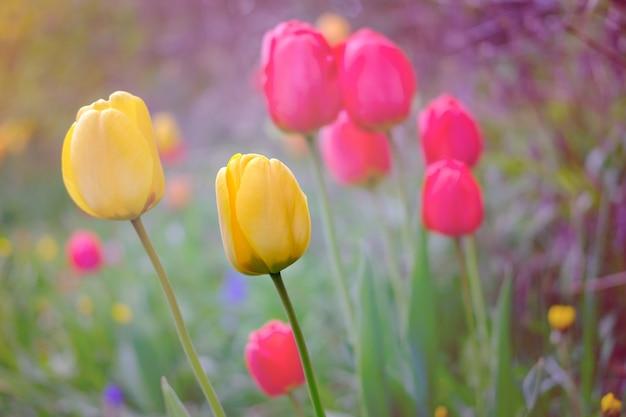 Tulipes dans le jardin.