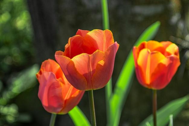 Tulipes dans le parc du printemps
