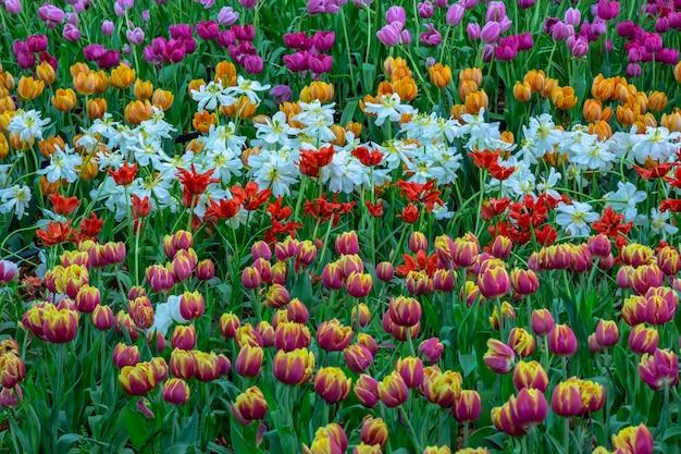 Tulipes dans le parc.