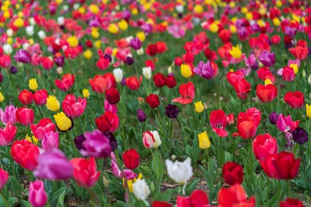 Les tulipes fleurissent dans le jardin