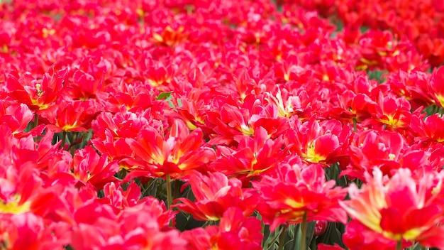 Tulipes en fleurs. beau fond de printemps et d'été. fleurs de printemps.