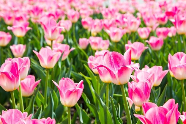 Tulipes en fleurs. beau fond de printemps et d'été.