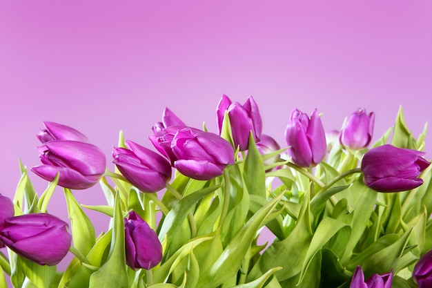 Tulipes fleurs roses rose prise de vue en studio