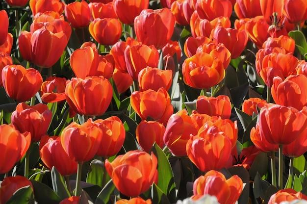 Tulipes à floraison rouge