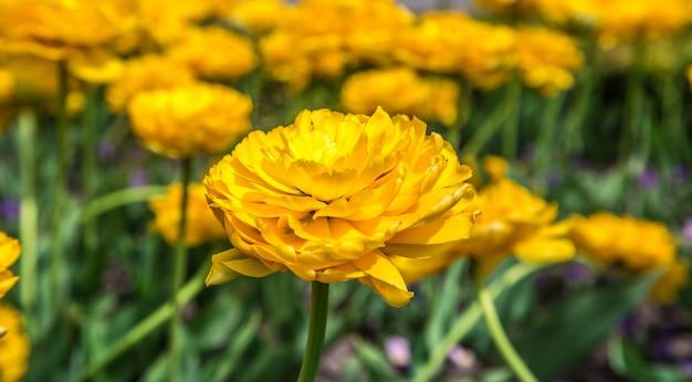 Tulipes jaune éponge sur le parterre de fleurs