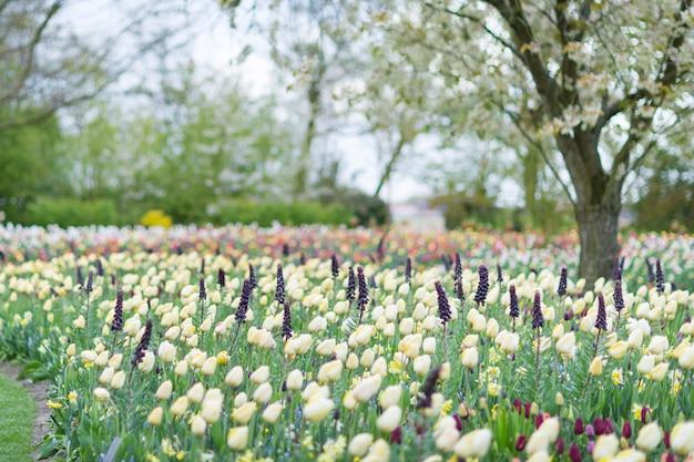 Tulipes jaunes dans un fond de parc fleuri.