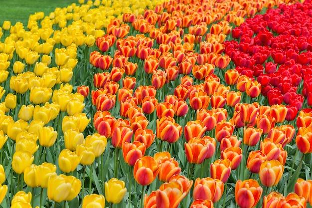 Tulipes jaunes, orange et rouges dans un fond de parc. mise au point sélective.