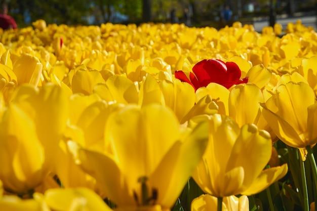 Tulipes jaunes et rouges