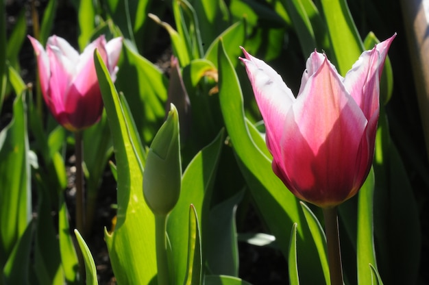 Tulipes magenta en fleurs