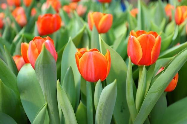 Tulipes orange agrandi dans le jardin