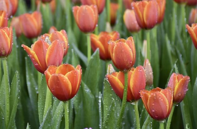 Tulipes orange dans un beau jardin