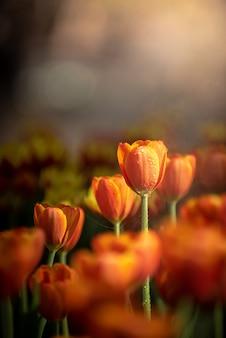 Tulipes orange dans des tons sombres se bouchent. fleurs printanières fraîches dans le jardin avec lumière du soleil douce