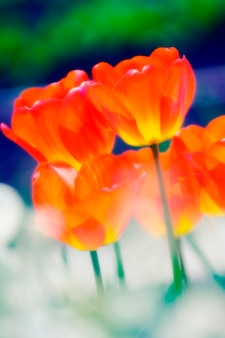 Tulipes orange, gros plan
