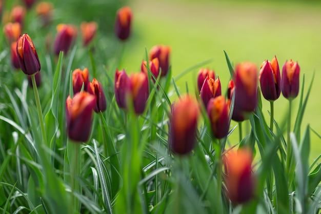 Tulipes orange et rouges dans un parc. concept de printemps