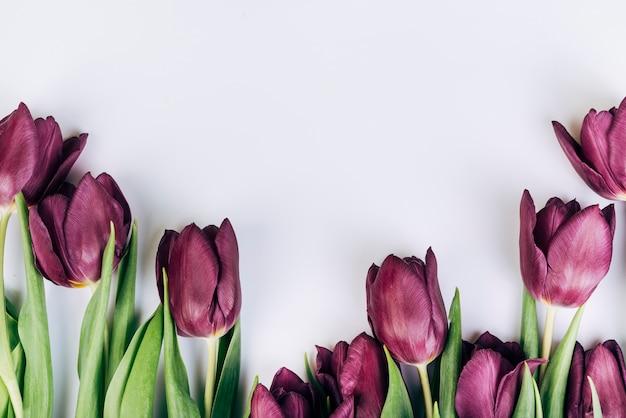 Tulipes pourpres sur fond blanc