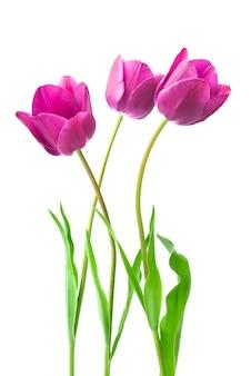 Tulipes pourpres isolés sur blanc