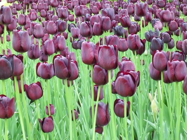 Tulipes pourpres sombres au jardin de keukenhof, pays-bas