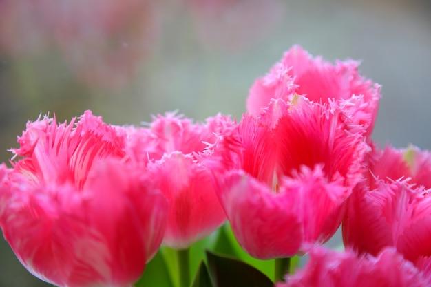 Tulipes de printemps dans un vase