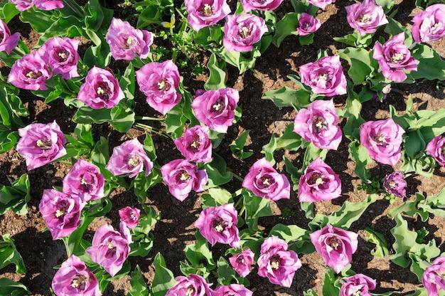 Tulipes rose-violet tirées d'en haut, jardins de keukenhof à lisse, pays-bas