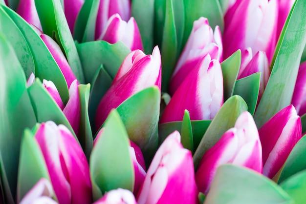 Tulipes roses et blanches avec des feuilles vertes fond de printemps nature. flou artistique et bokeh