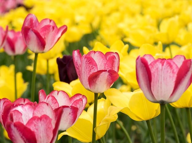 Tulipes roses sur fond jaune au printemps park sur l'île d'elagin, saint-pétersbourg.