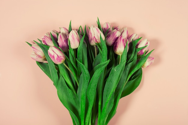 Tulipes roses sur fond rose