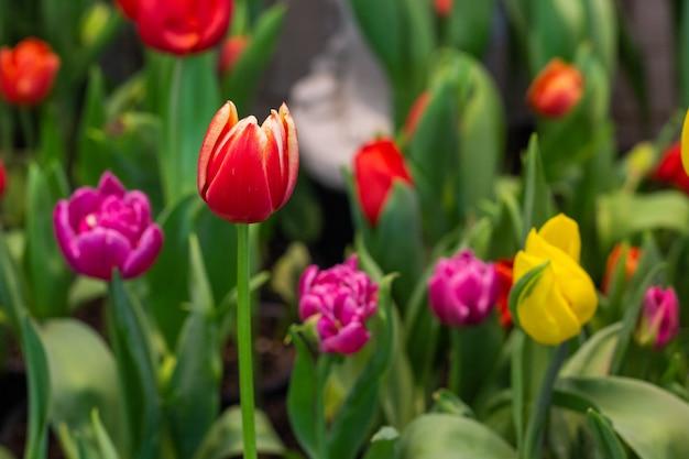 Tulipes rouges avec de belles dans le jardin.