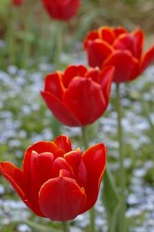 Tulipes rouges en fleurs dans un jardin