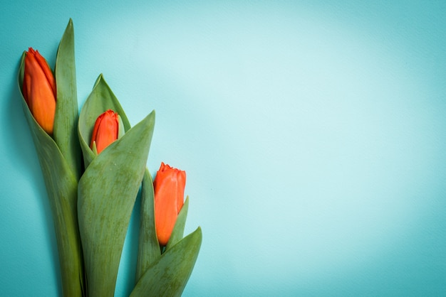 Tulipes rouges sur fond en bois bleu