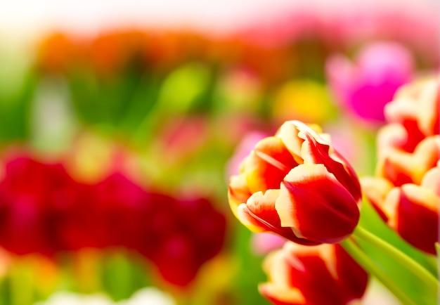 Tulipes rouges fraîches sur le terrain. vue macro