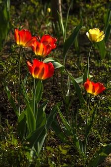 Tulipes rouges et jaunes dans un parterre de fleurs dans le parc.