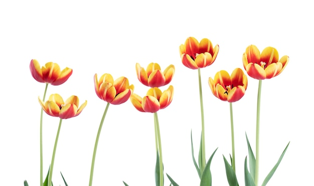Tulipes rouges et jaunes fraîches et belles isolés sur fond blanc, gros plan du concept de fleur de printemps de la fête des mères.