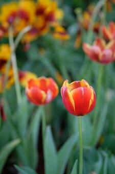 Tulipes rouges et jaunes sous le soleil printanier avec des feuilles vertes en arrière-plan