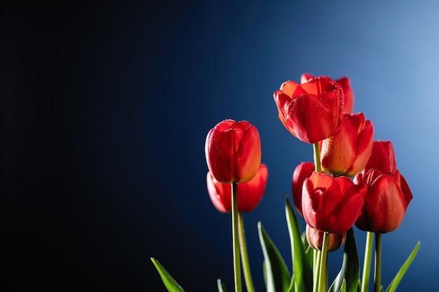 Tulipes rouges sur mur bleu