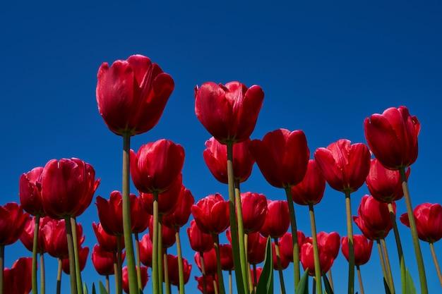Tulipes rouges à nouveau bleu ciel. fond de fleurs espace de copie